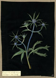 Mary Delany botanical collage: Eryngium Amethystinum, 1781, Mary Delany (1700-1788) made her first collages depicting plant specimens at 71, creating 1,000 extraordinarily detailed images by hand coloring, cutting, and gluing paper particles on a black ground. Her works (now in the British Museum) were accurate enough to be used as botanical reference tools in the pre-photography era.