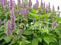 #patchouli the forgotten #essentialoil https://wonderfulscents.com/blogs/news/patchouli-the-forgotten-essential-oil?utm_content=buffer7ab51&utm_medium=social&utm_source=pinterest.com&utm_campaign=buffer #wonderfulscents #aromatherapy wonderfulscents.com