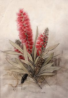 Callistemon Foresterae: Population 3000 by Paul Kalemba. Watercolour and Ink on Cotton Paper, 2011 A loose botanical portrait of the endangered Forester's Callistemon (bottlebrush) in Eastern Victoria. Endemic distribution map and population notes Australian Wildflowers, Australian Native Flowers, Australian Art, Science Illustration, Plant Illustration, Vintage Botanical Prints, Botanical Drawings, Botanical Flowers, Botanical Art