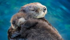Wild Sea Otter and Pup