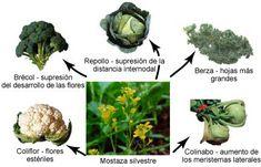 Todas estas variedades de la mostaza se formaron por selección artificial gracias a los agricultores
