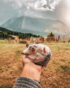65 Pics Of Adorable Herbee The Hedgehog To Brighten Up Your Day - Cute animals - Cute Baby Cow, Baby Animals Super Cute, Cute Little Animals, Cute Funny Animals, Baby Cows, Fluffy Cows, Fluffy Animals, Smiling Animals, Rare Animals
