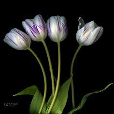 INDIVIDUALIST TULIP... Spring Memories by Magda Indigo - Photo 114503289 - 500px