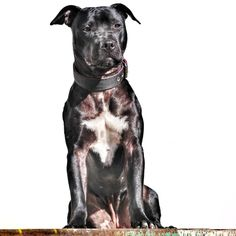 Traditional AMERICAN PIT BULL TERRIER From @mrskittypride 🇵🇱 Kitty 22 months old #apbt 22 Month Old, American Pitbull, Pitbull Terrier, Pit Bull, Kitty, Traditional, History, Dogs, Animals