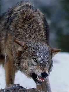 wolf growling - Google Search