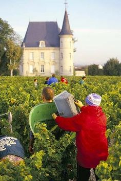 Vintage finds ... harvest at Chateau Pichon Longueville, Bordeaux.    It's harvest season You can see pickers filling the last of the day's baskets with bunches of plum blue cabernet sauvignon grapes.(http://www.watoday.com.au/travel/activity/food-and-wine/in-bed-with-louis-xvi-20120816-24app.html#ixzz23wdiYb5d)