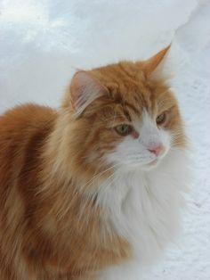 norwegian forest cat   Fil:Norwegian Forest Cat in snow (closeup).jpg - Wikipedia