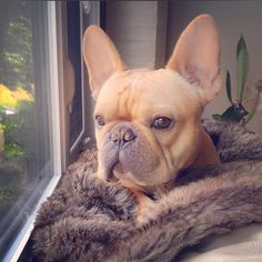 """I Got my Fur Blankie, and my Window Seat.....it's ALL Good"", Pampered French Bulldog"
