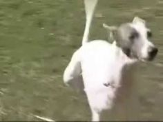486c1f5f5c Two-legged Dog Dominic - Even More Amazing! - YouTube - You