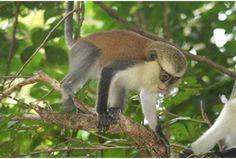 Campbell's Mona Monkey, Cercopithecus campbelli - Mammalia Reference Library - redOrbit