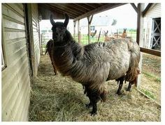 Black Ice - Llama GeldingDoB: 8/17/04  Black Ice is a gorgous heavy wooled animal. He halters in a catch pen.Located in Princevill?e, ILSELR# 1081Adoption Fees: $250 for the initial animal,$225 for the second animal, $200 for everyanimal thereafter....
