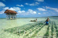 Seaweed farm in the lagoon of Tabiteuea North.
