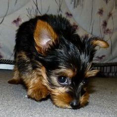 Yorkie puppy #yorkshireterrier