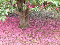 Under a Camellia sasanqua