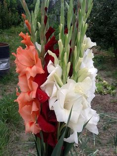 Gladiolus flowers (LINKY)