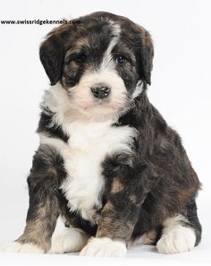 Beautiful, female, bernedoodle puppy!