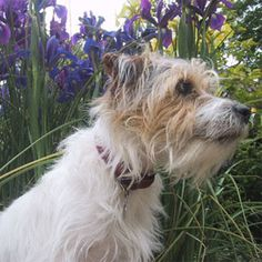 Long Haired Jack Russell Terrier dog named MOE