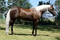Chocolate Palomino Horse