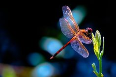 Dragonfly Spiritual Meaning | Dragonfly Spirit Sign Wisdom and Change