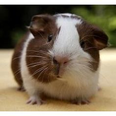 Is Timothy Hay the right food for my Guinea Pig?