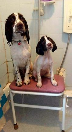 """Springer Spaniels  The baby says """"what are you doing to me mommy?"""""""