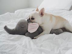 French Bulldog ❤️@piggyandpolly