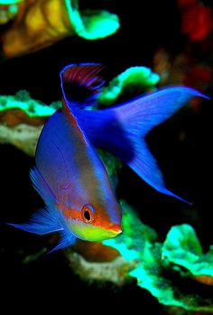 Anthias.