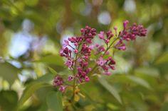 Syreeni // Lilac