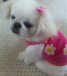 Pekingese Puppies, Dogs And Puppies, Best Dog Food, Best Dogs, Cutest Animals, Animals And Pets, Dog Pee, Japanese Chin, Best Dog Training