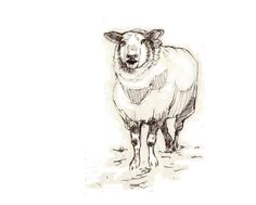 a study/drawing of a sheep by Co van Assema.
