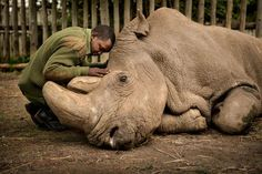 March 2018 – Joseph Wachira comforts Sudan, a northern white rhino, moments before he died at the Ol Pejeta Conservancy in Kenya. Sudan was 45 years old and in poor health. The life he lived: Photos of the last male northern white rhino Ami Vitale Grand Teton National, Northern White Rhinoceros, Fotojournalismus, National Geographic Photographers, Concours Photo, Photojournalism, In This Moment, Mammals, Reptiles