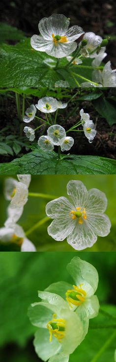 """Diphylleia grayii - The """"Skeleton Flower"""" turns from white to translucent when exposed to water. In the Barberry family. Rare Flowers, Exotic Flowers, White Flowers, Beautiful Flowers, Skeleton Flower, Flower Tattoo Back, No Rain No Flowers, Moon Garden, White Gardens"""