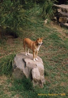 australian dingo | Australian Dingo - Click to enlarge -- wild dog of Australia