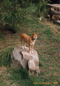 australian dingo | Australian Dingo - Click to enlarge -- wild dog of Australia