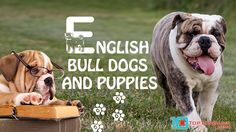 English Bulldog Puppies – [Top 10] Facts