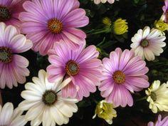 Spanske margeritter - Ostepermum  16.5.2014 /IJ Garden Pictures, Garden Spaces, Chrysanthemum, Norway, Beautiful Flowers, Layout, Plants, Photo Illustration, Pretty Flowers