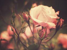 Rosen pflegen: Die besten Tipps