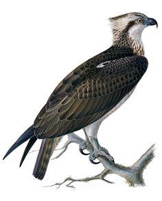 Fiskgjuse, Pandion haliaetus - Fåglar - NatureGate