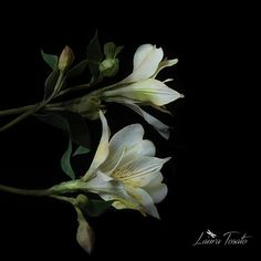 #white alstroemeria
