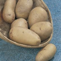 Kennebec Potato - Our most popular potato. This widely grown main crop potato produces excellent yields of large, thin-skinned, oval tubers with white flesh that is dry and flavorful. Cooks and bakes wonderfully and is one of the best for winter storage. Good blight resistance. A late midseason variety.