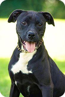 Chicago, IL - Boxer/Pit Bull Terrier Mix. Meet Stevie(URGENT!), a dog for adoption. http://www.adoptapet.com/pet/14082439-chicago-illinois-boxer-mix