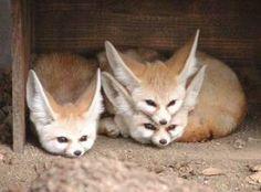 foxy heads