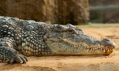 Free Photo: Nile Crocodile - Free Image on Pixabay - 245013