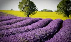 Lavender in Provence | www.theluberon.com
