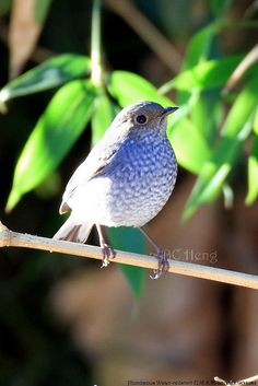 plumbeous water redstart (Rhyacornis fuliginosa)... I think a female because the males are much more blue