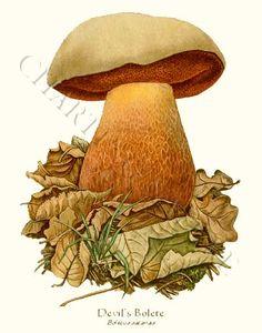 'Devil's Bolete' restored antique mushroom illustration - via Charting Nature