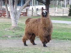 argentinian llama - Google Search Animals, Google Search, Animaux, Animal, Animales, Animais
