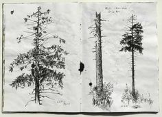 ink drawing of a spruce tree, details of tree top and complete tree: