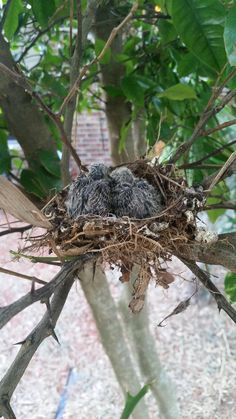 These lil' fuckers not only survived but HATCHED during hurricane Matthew. Reddit meet Matthew and Nicole backyard badass baby birdies. #Cute