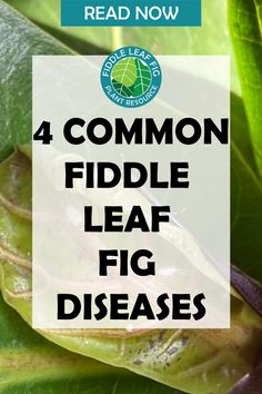 Like all organisms, fiddle leaf figs can get sick! Despite your careful and consistent care routine, you might run into one or more of these common fiddle leaf fig diseases and conditions at some point. It's important to recognize them and know how to treat them! Some of these diseases are more common than others, so we'll start with the most common first and work our way down to the least common. Fiddle Leaf Fig Tree, Tree Care, Outdoor Plants, Figs, Plant Care, Routine, Leaves, Treats, Healthy